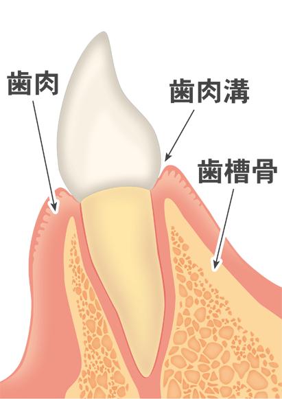 正常な歯周組織